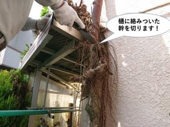 岸和田市の樋に絡みついた幹を切ります