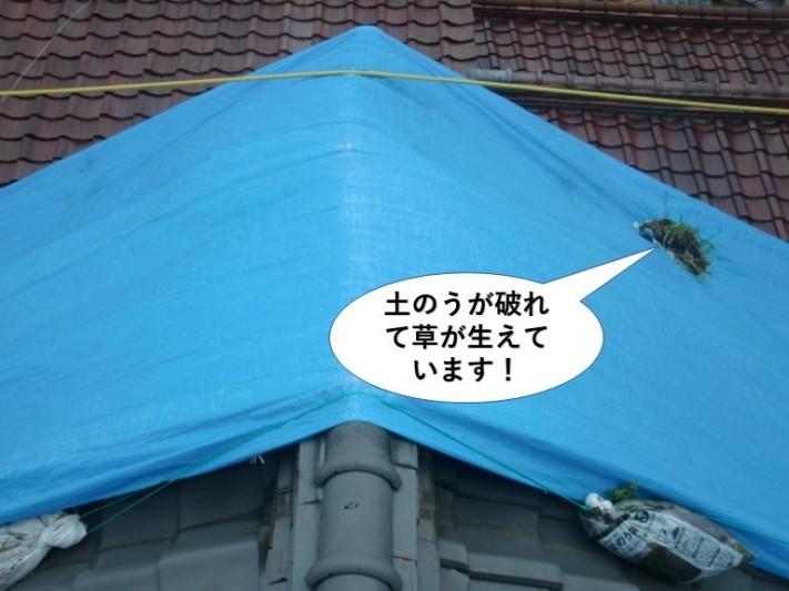 熊取町の屋根の土のうが破れて草が生えています