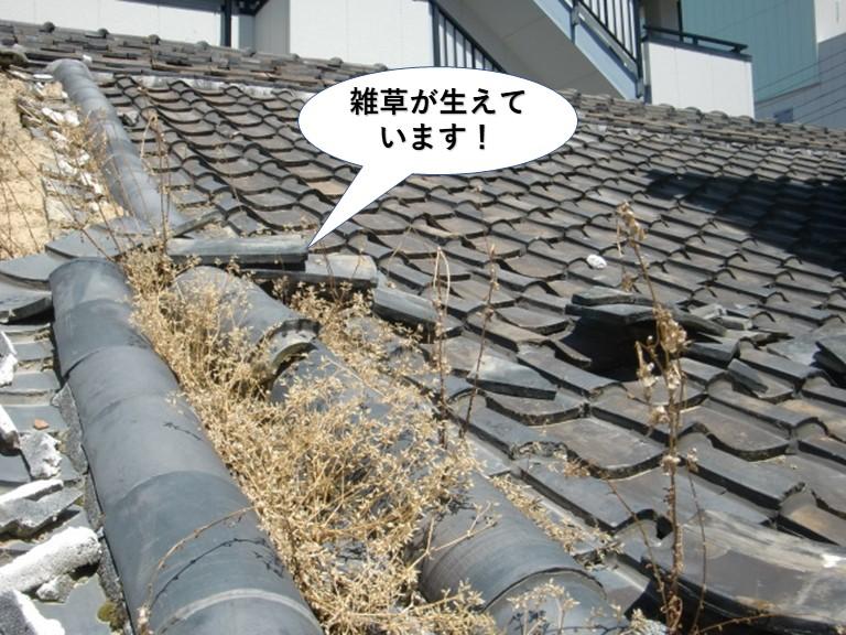 泉大津市の屋根に雑草が生えています