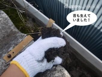 岸和田市の雨樋の中に苔も生えていました