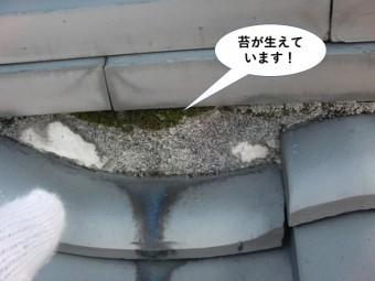 岸和田市の棟に苔が生えています