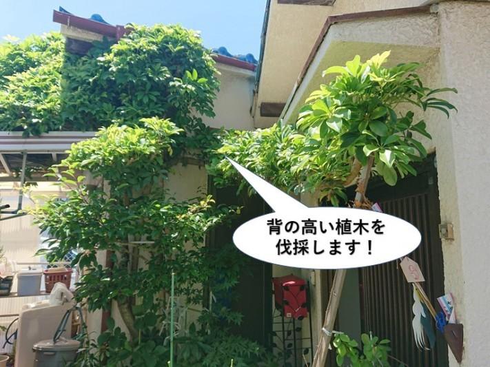 岸和田市の背の高い植木を伐採します