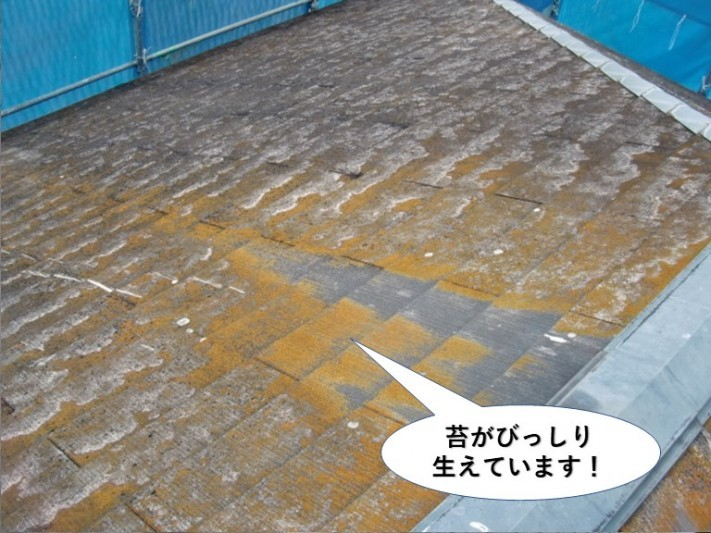 泉大津市の屋根に苔がびっしりと生えています