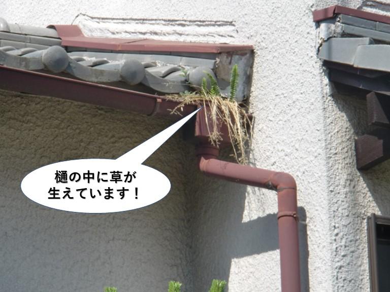 泉大津市の樋の中に草が生えています