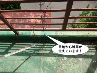 泉大津市のベランダの目地から雑草が生えています