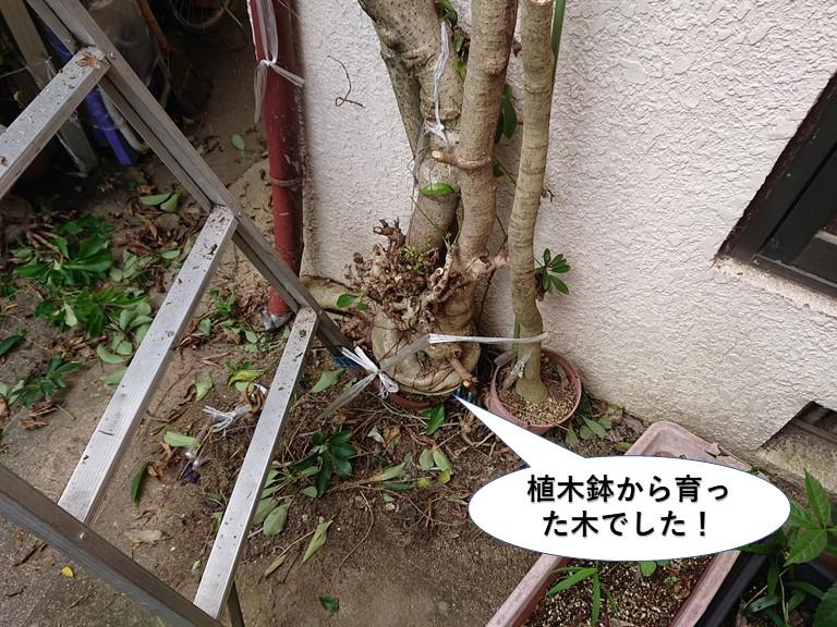 岸和田市の植木鉢から育った木