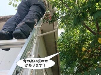 泉大津市の樋の上に背の高い桜の木があります