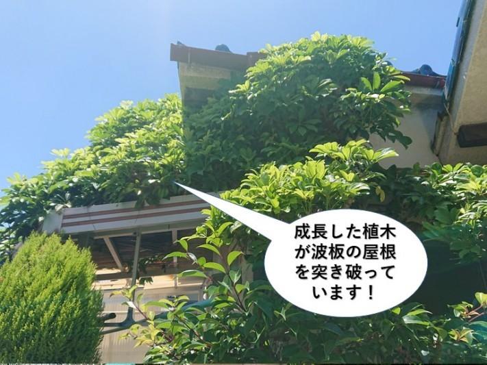 岸和田市の成長した植木が波板の屋根を突き破っています