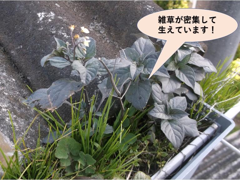 岸和田市の雨樋に雑草が密集して生えています!